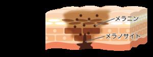 メラニンの構造