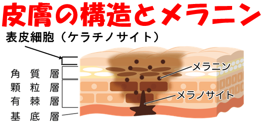 皮膚の構造とメラニン