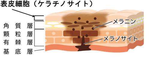 皮膚とメラニン